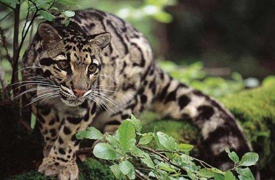 леопард дымчатый фото