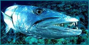 Барракуда рыба. Образ жизни и среда обитания барракуды