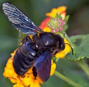 Как выглядит пчела-плотник