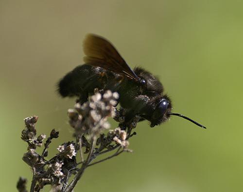 пчела плотник фото