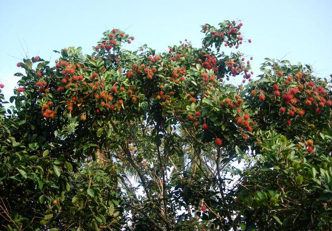 рамбутан дерево фото