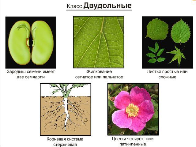 двудольные растения фото