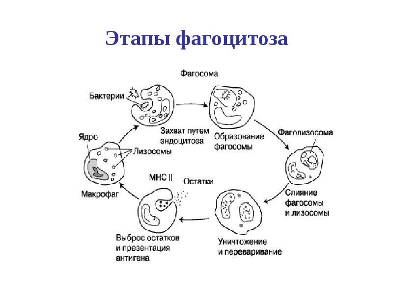 Значение фагоцитоза в иммунитете thumbnail