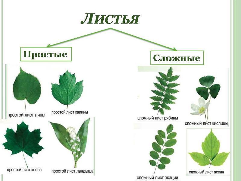 простые и сложные листья фото