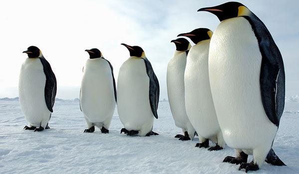 Пингвинообразные фото