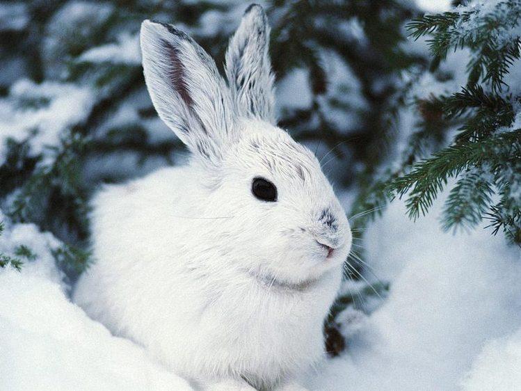 Заяц беляк фото и описание
