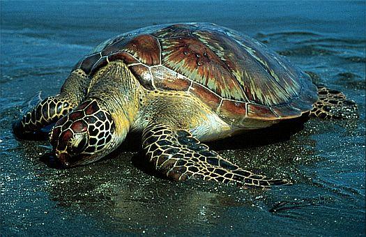 зеленая черепаха фото