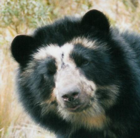 медведь очковый фото