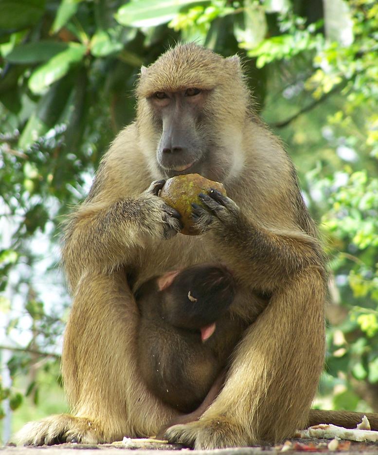 бабуин фото