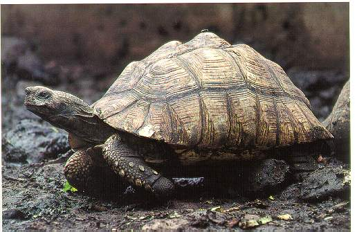 грифовая черепаха фото