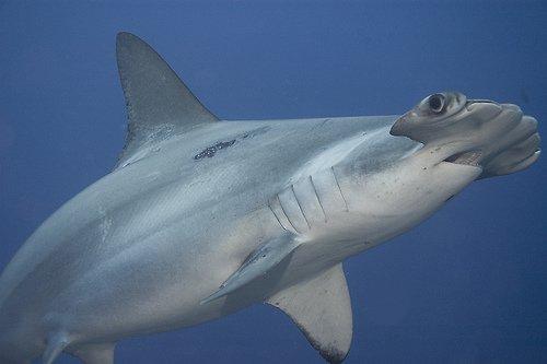 акула молот фото