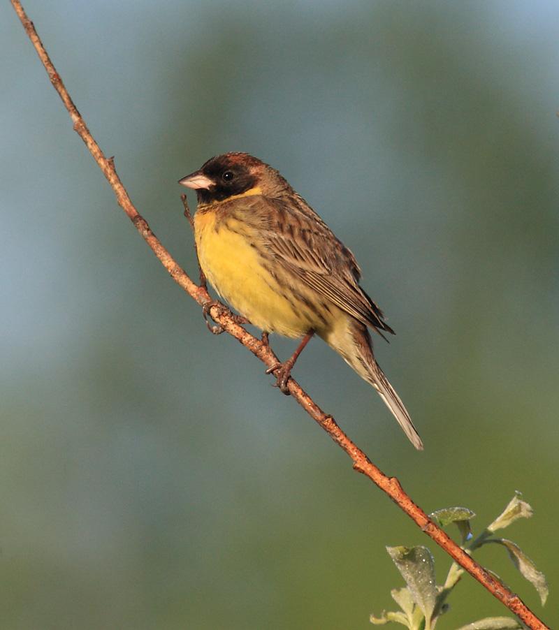 птица дубровник фото
