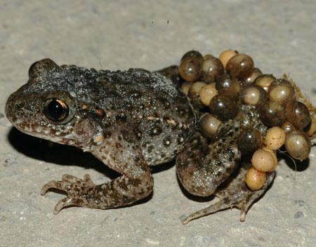 жаба повитуха фото