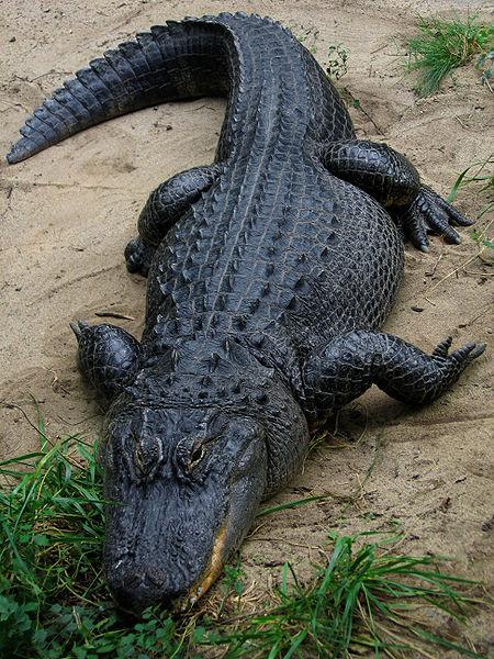 американский аллигатор фото
