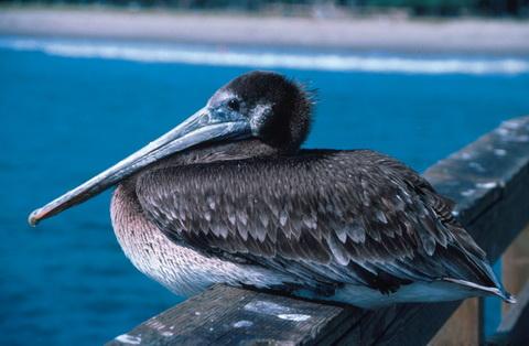 Бурый пеликан фото