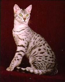 Египетская Мау фото