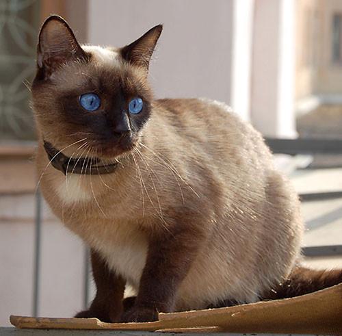 кошка Сиамская фото