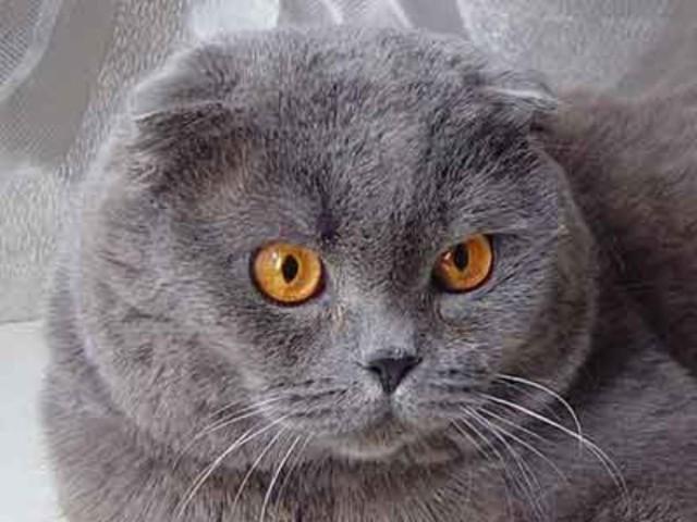 Шотландская прямоухая порода, котята скоттиш страйт ...