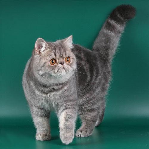 Экзотическая короткошерстная кошка фото