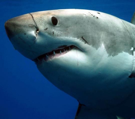 Белая акула (кархародон) фото