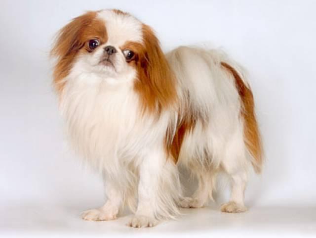 Японский хин собаки домашние
