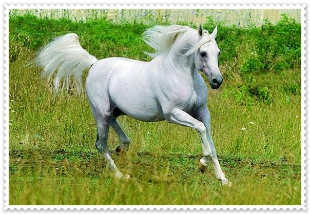 Арабская лошадь фото