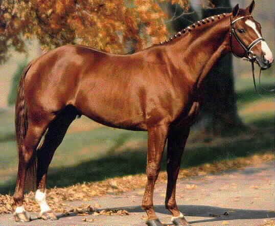 Ганноверская лошадь фото