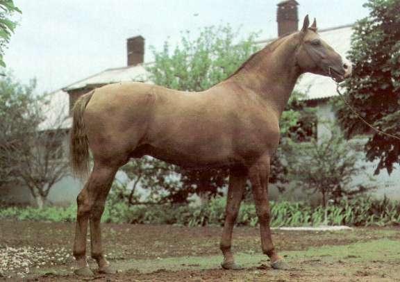 Донская лошадь фото