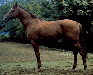 Кустанайская лошадь фото