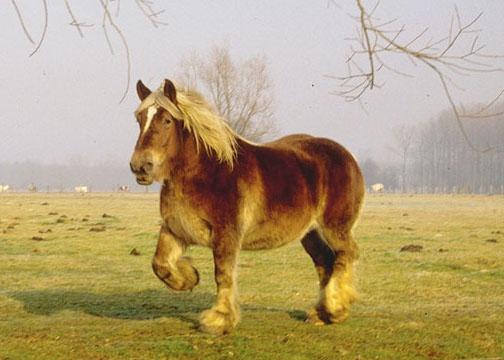 Бельгийская рабочая лошадь фото