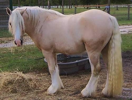 Американская кремовая лошадь фото