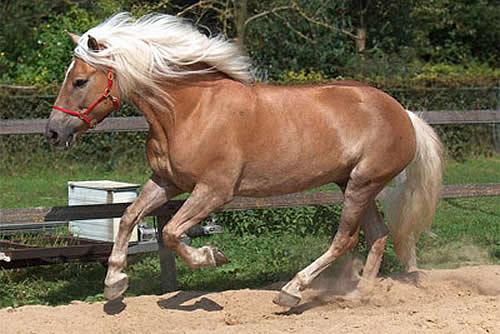 Гафлингская лошадь фото