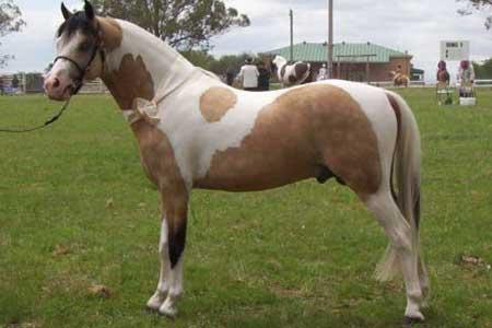 Австралийский пони фото