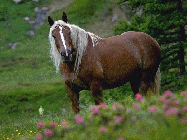Норикийская лошадь фото