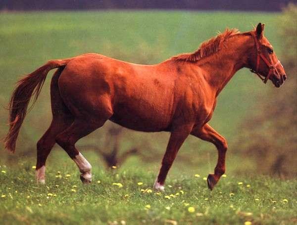 Вестфальская лошадь фото