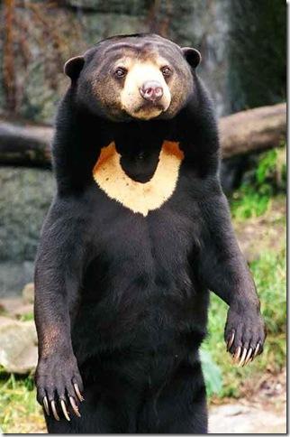 Малайский медведь фото