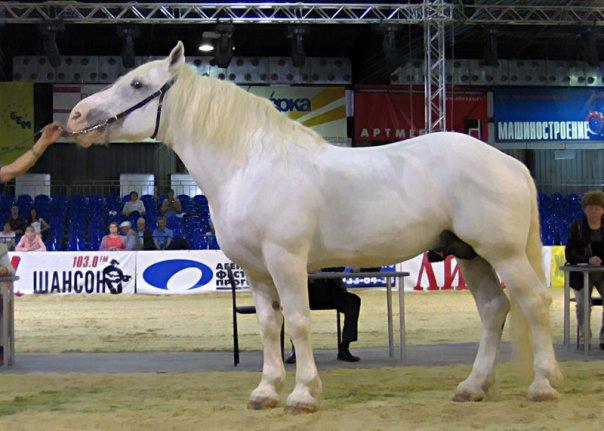 Першеронская лошадь фото