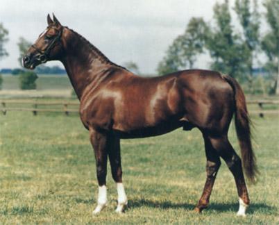 Англо-арабская лошадь фото