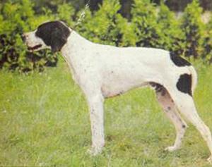 Собака Пойнтер фото