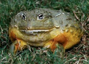 Лягушка-голиаф фото