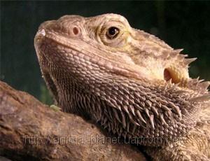 Ящерица Бородатая агама фото