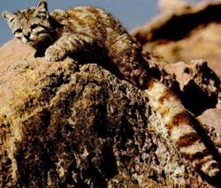 Андская кошка фото