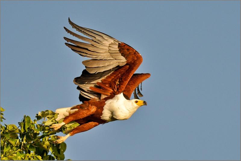 Орлан-крикун фото