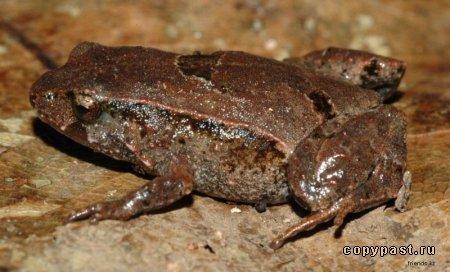 Сумчатая жаба фото