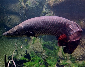 Рыба арапаима фото