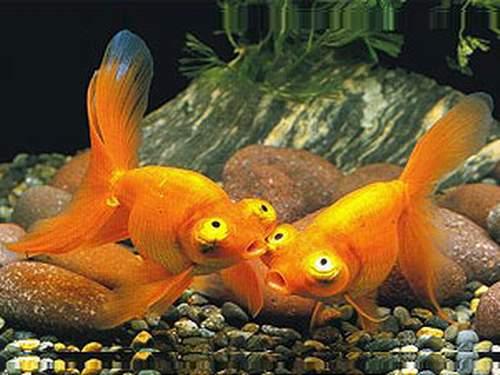 Рыба звездочет фото