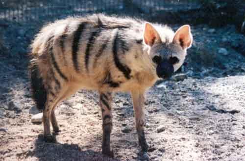 Земляной волк фото