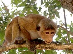 Цейлонский макак