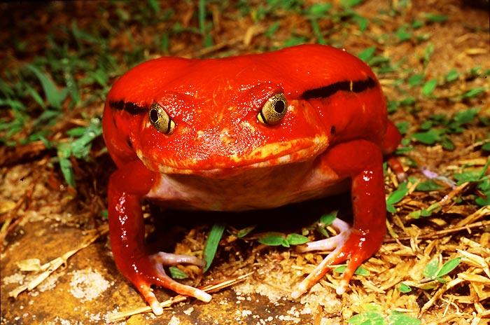 Лягушка-помидор фото