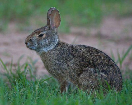 Водяной кролик фото